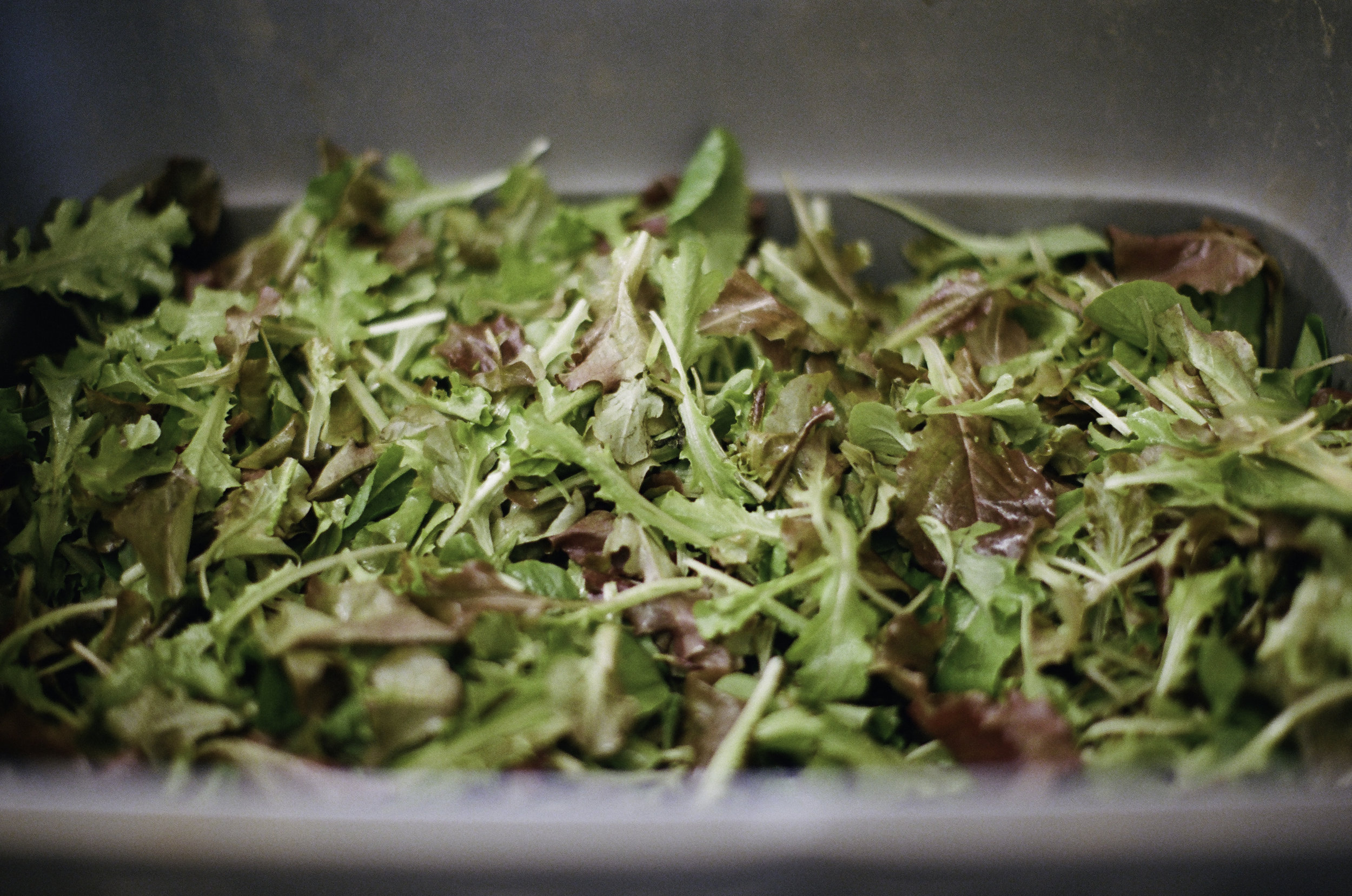 Harvested baby lettuce ready to be washed,  packed  and delivered.