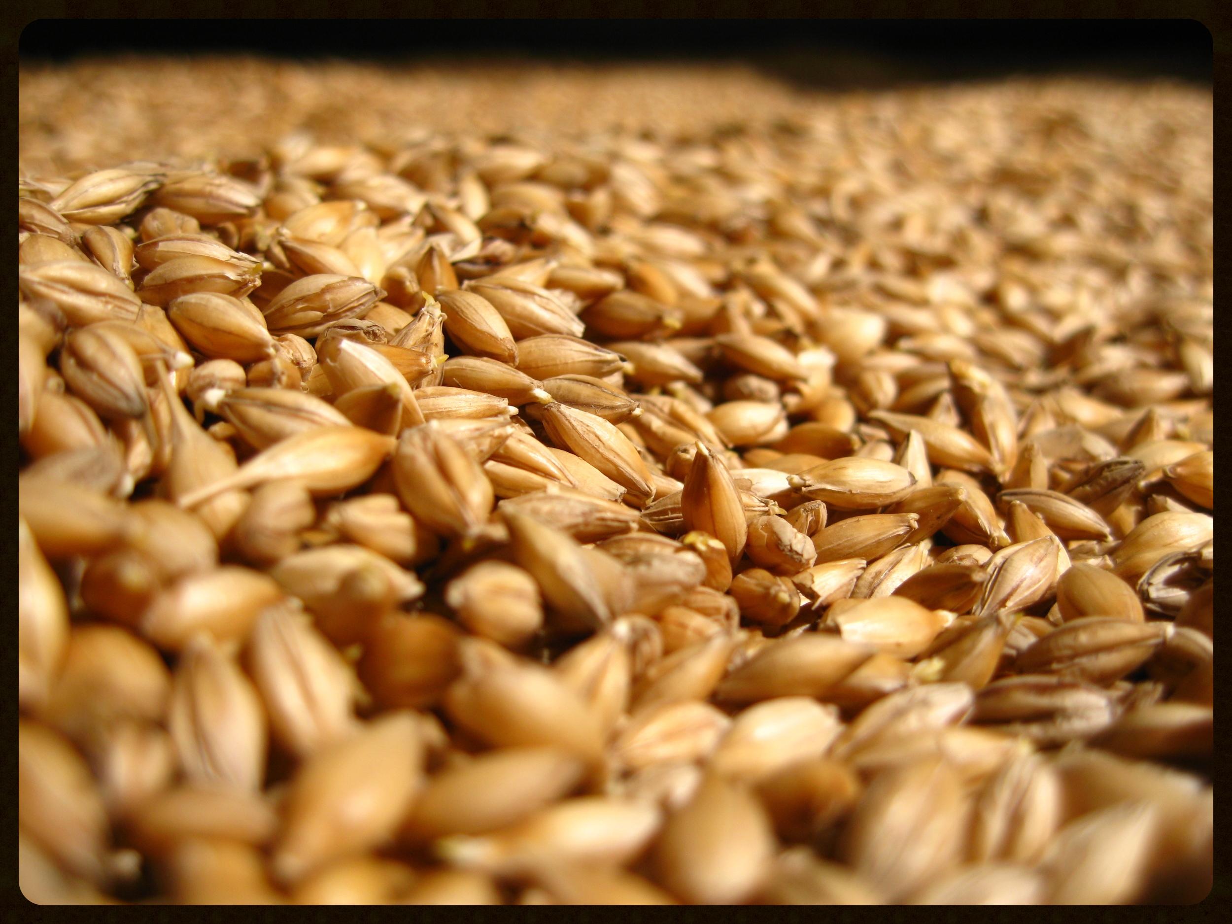 Floor malting barley at Bowmore, Islay.