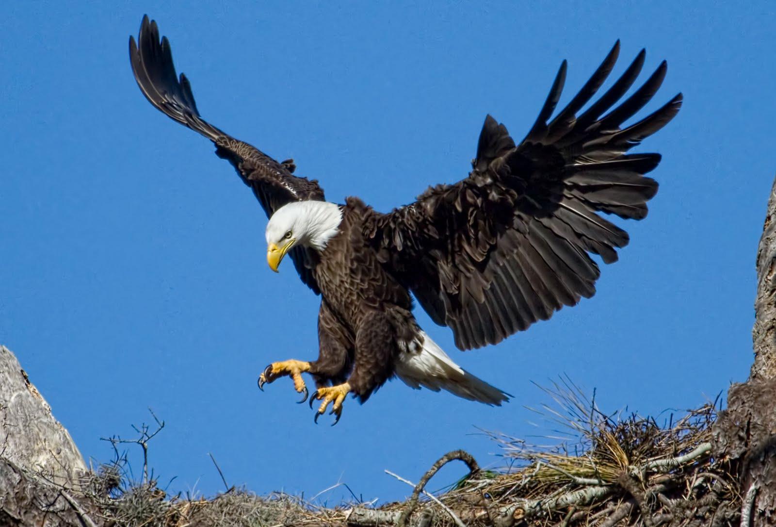 eagle-stunning-hd-wallpaper.jpg
