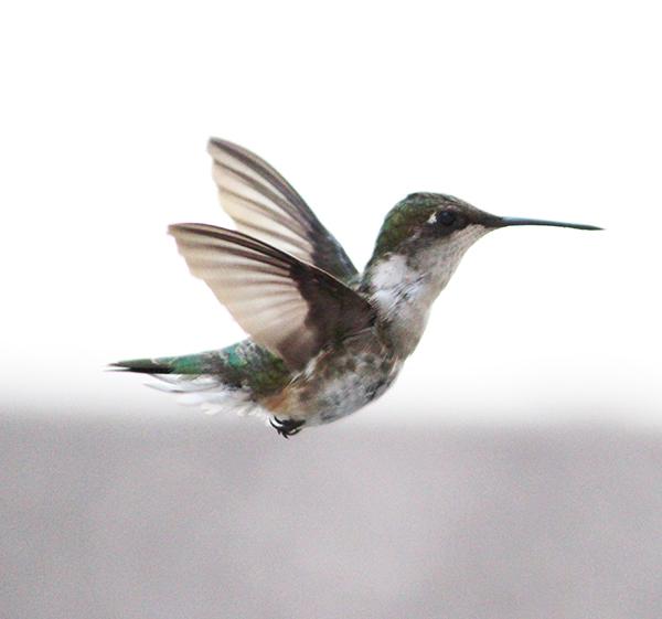 hummingbird photo dianeackers.com