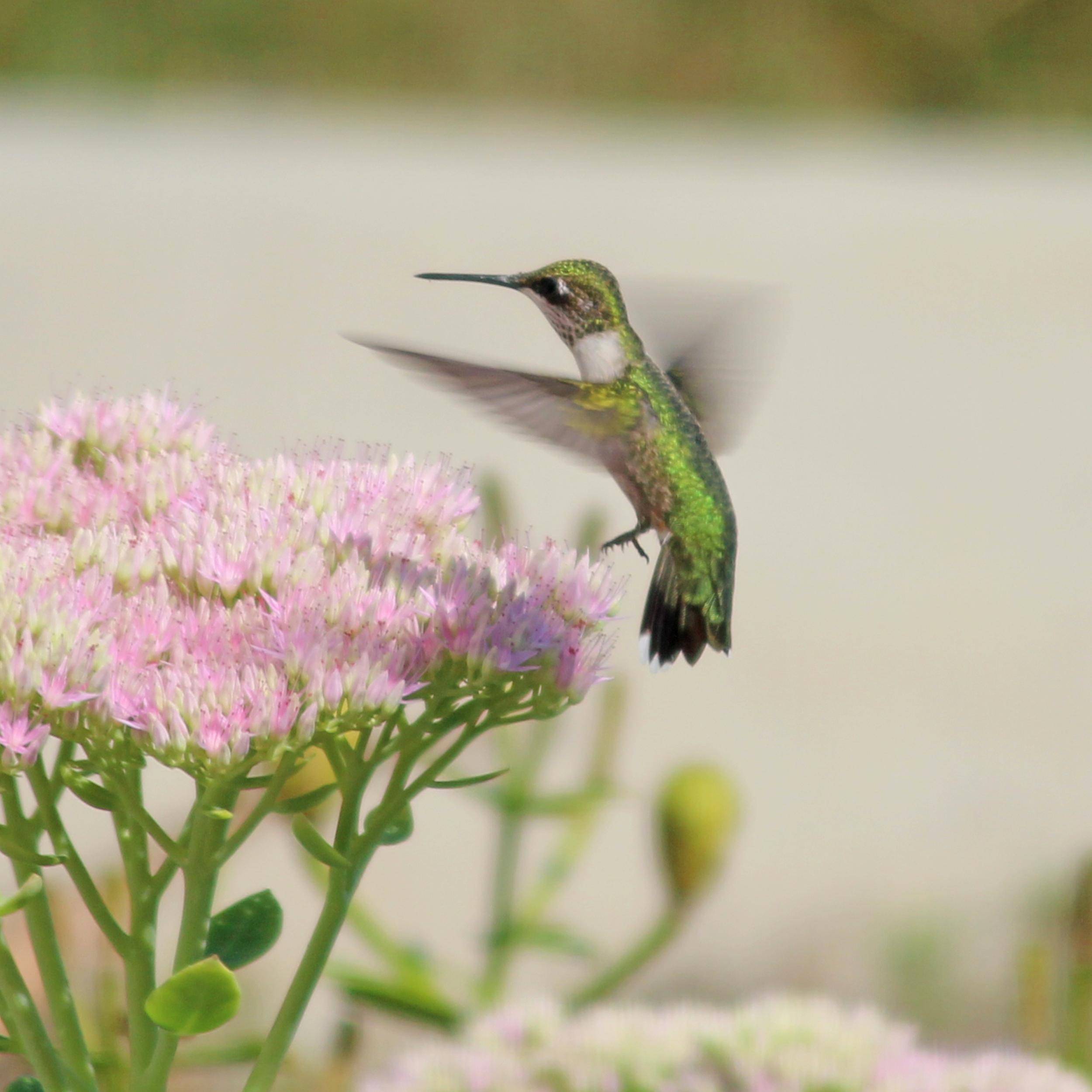 Dianeackers.hummingbird.jpeg