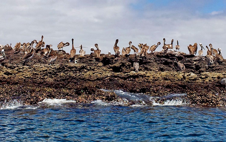 pelicans-on-marietas-islands-95.jpg