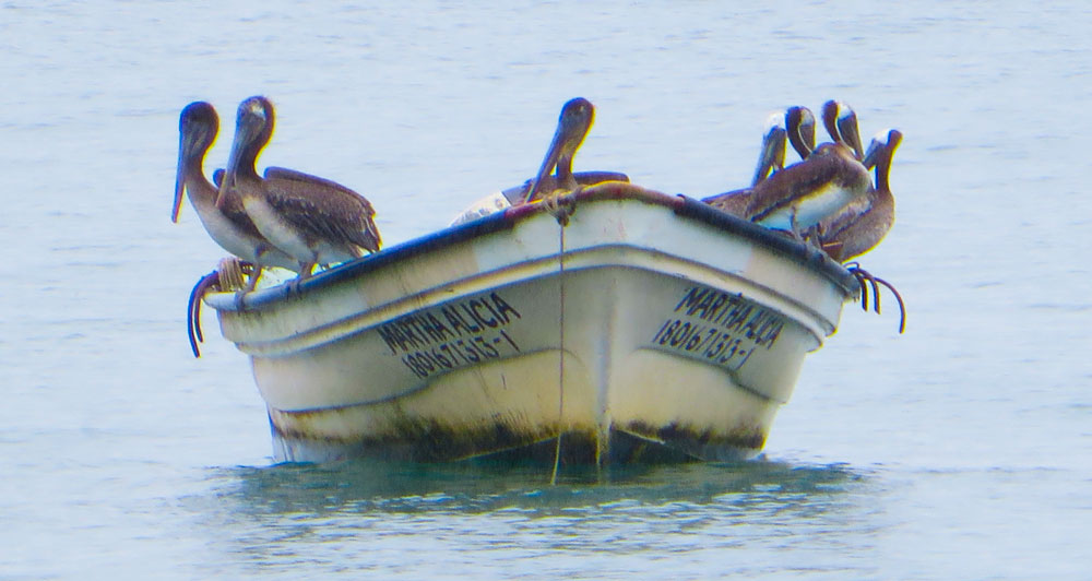 pelicans-on-boat-105.jpg