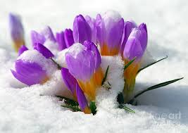 crocus in the snow.jpg