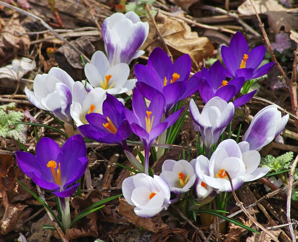 crocus in dirt full size.jpg