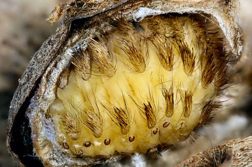 Puss caterpillar showing venomous spines