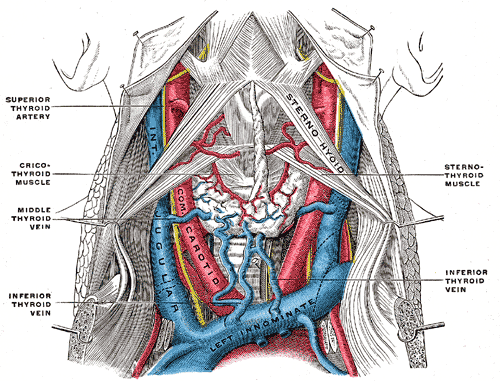 Large vessels of the neck.