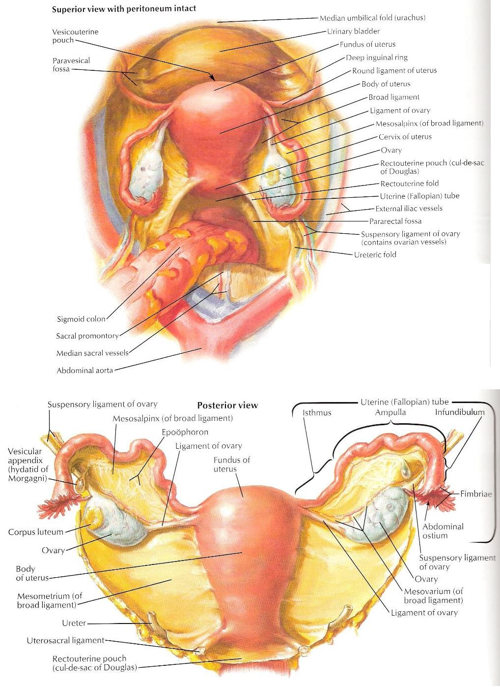 Pelvic structures of interest