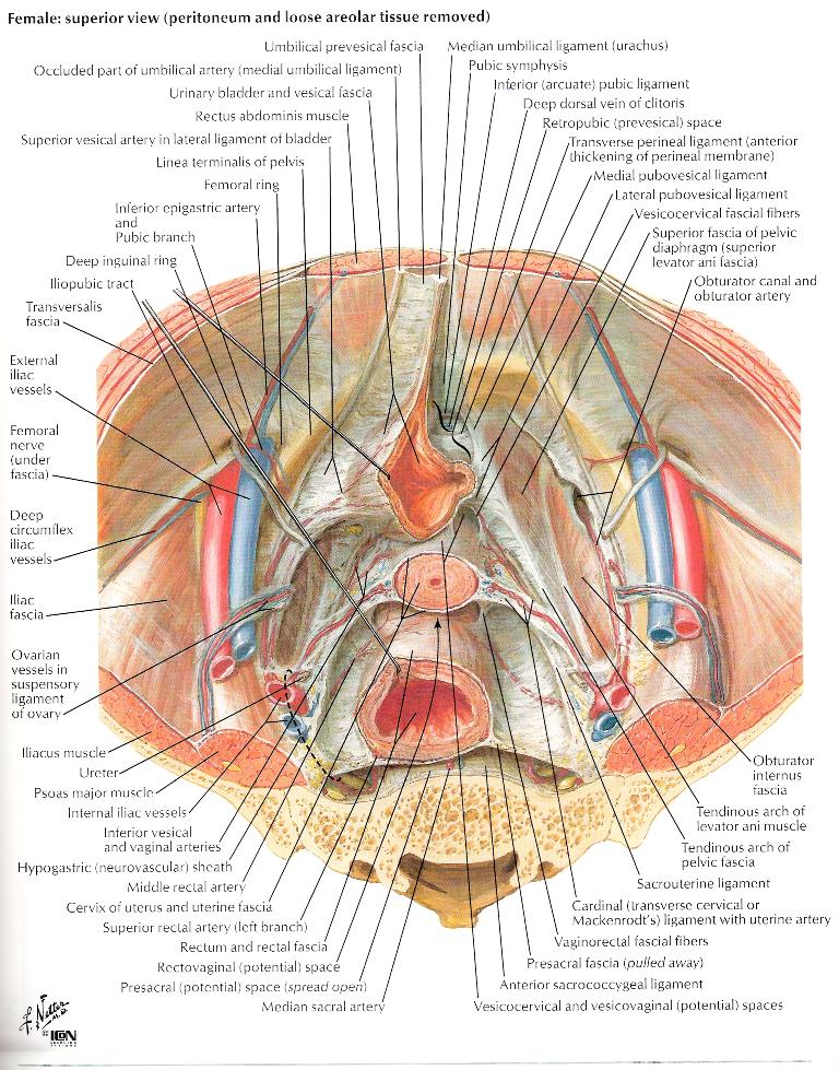 Transverse cross section through uterus at the level of the cervix