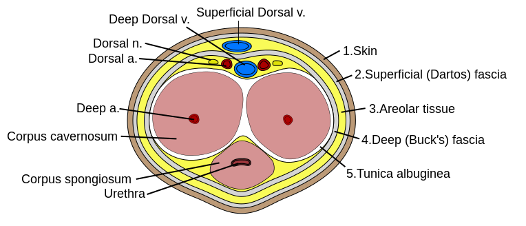 Penis Cross Section Anatomy