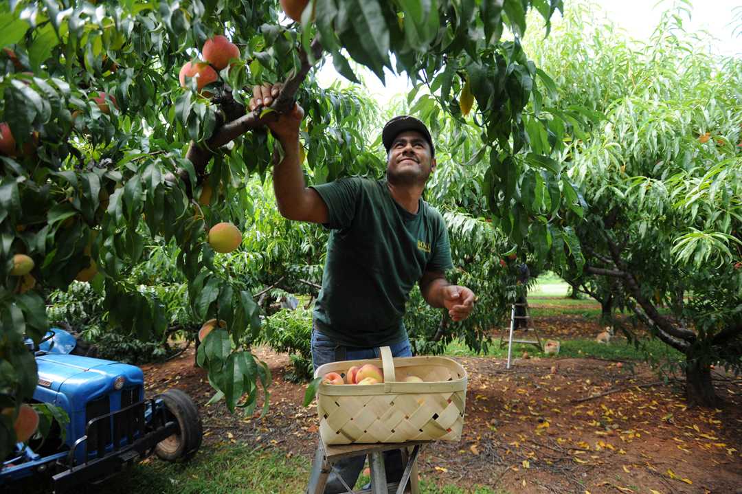 Too much rain has taken its toll on crops throughout the state. However, Tommy Fisher, owner of Fisher's Pick Your Own, said his crop of peaches has fared well as contract workers bring in the harvest on his Greer orchard.  (August 6, 2013)