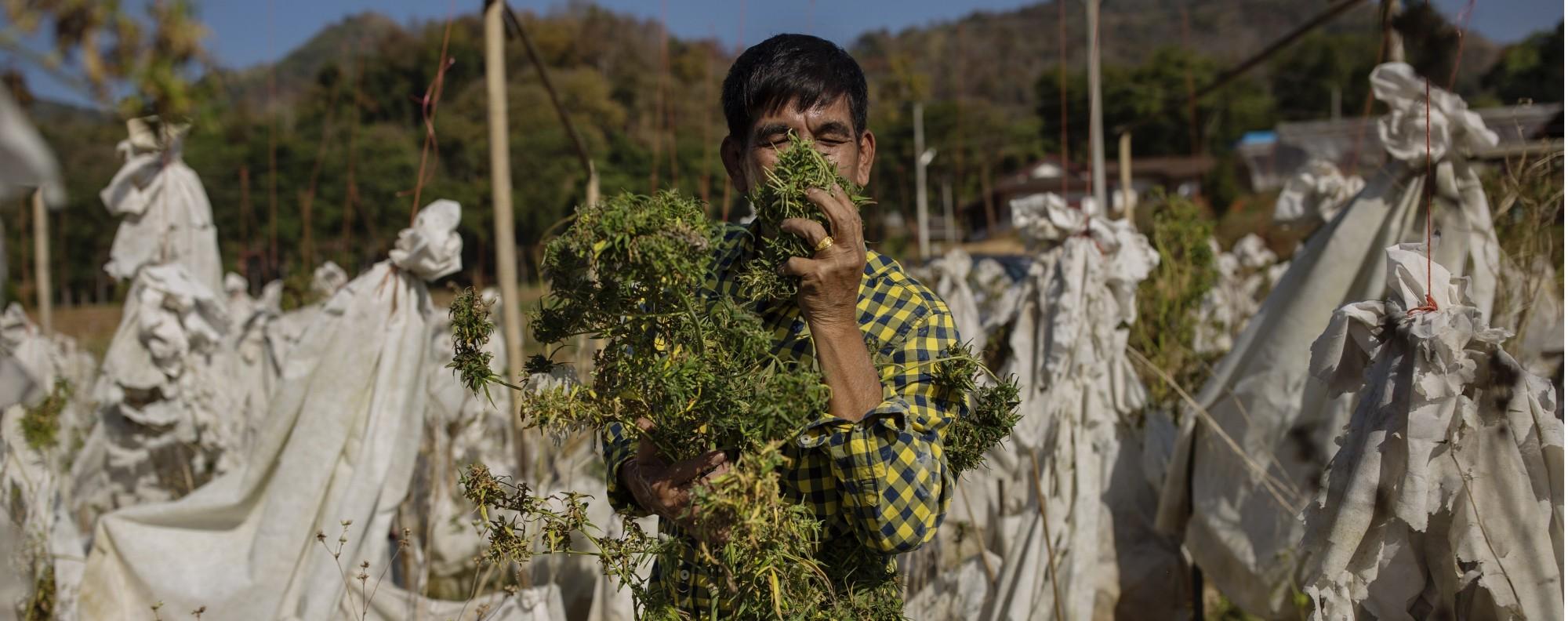 thailand cannabis.jpg