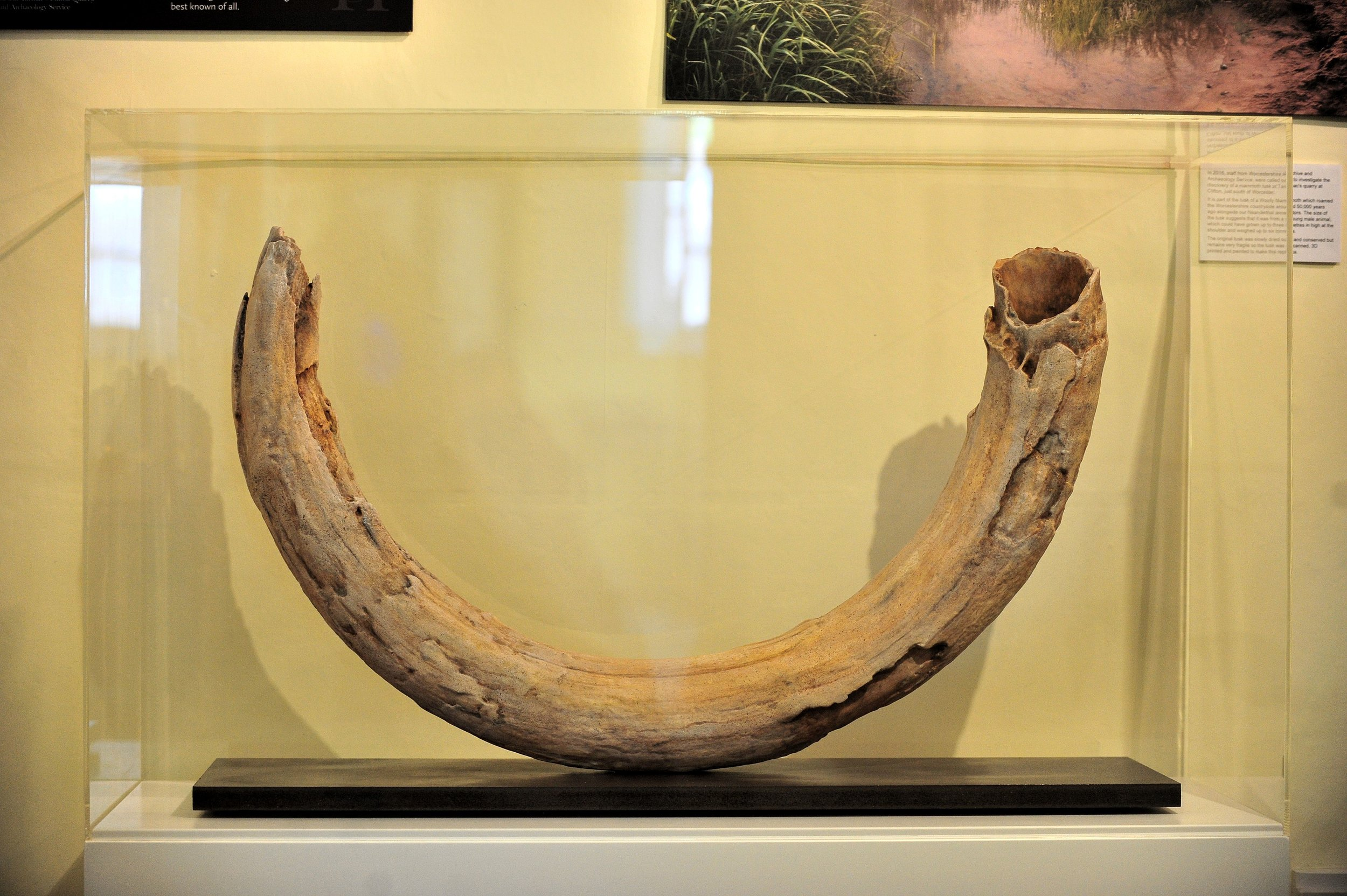 mammoth tusk on display.jpg