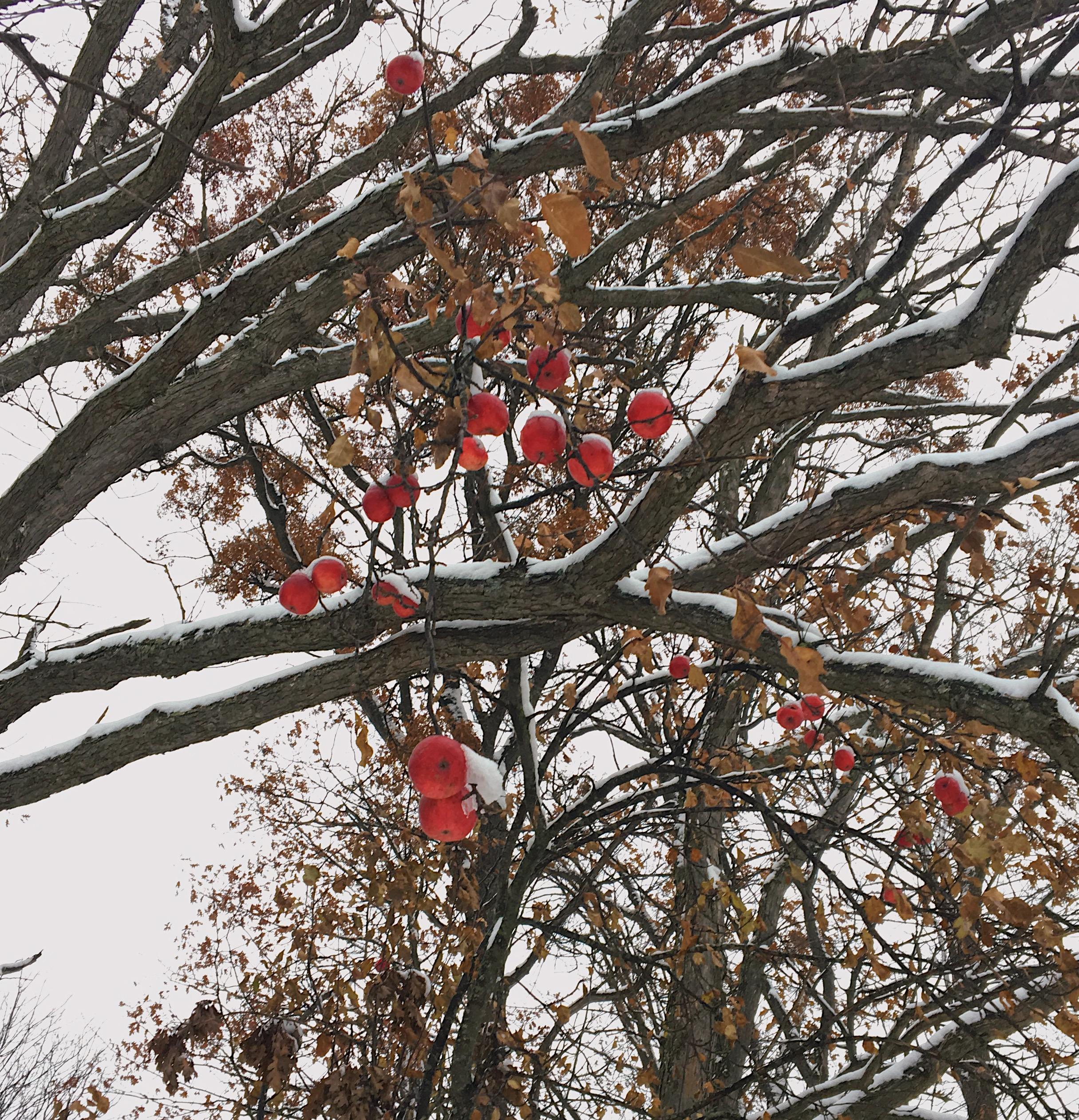 Winter Apples.JPG