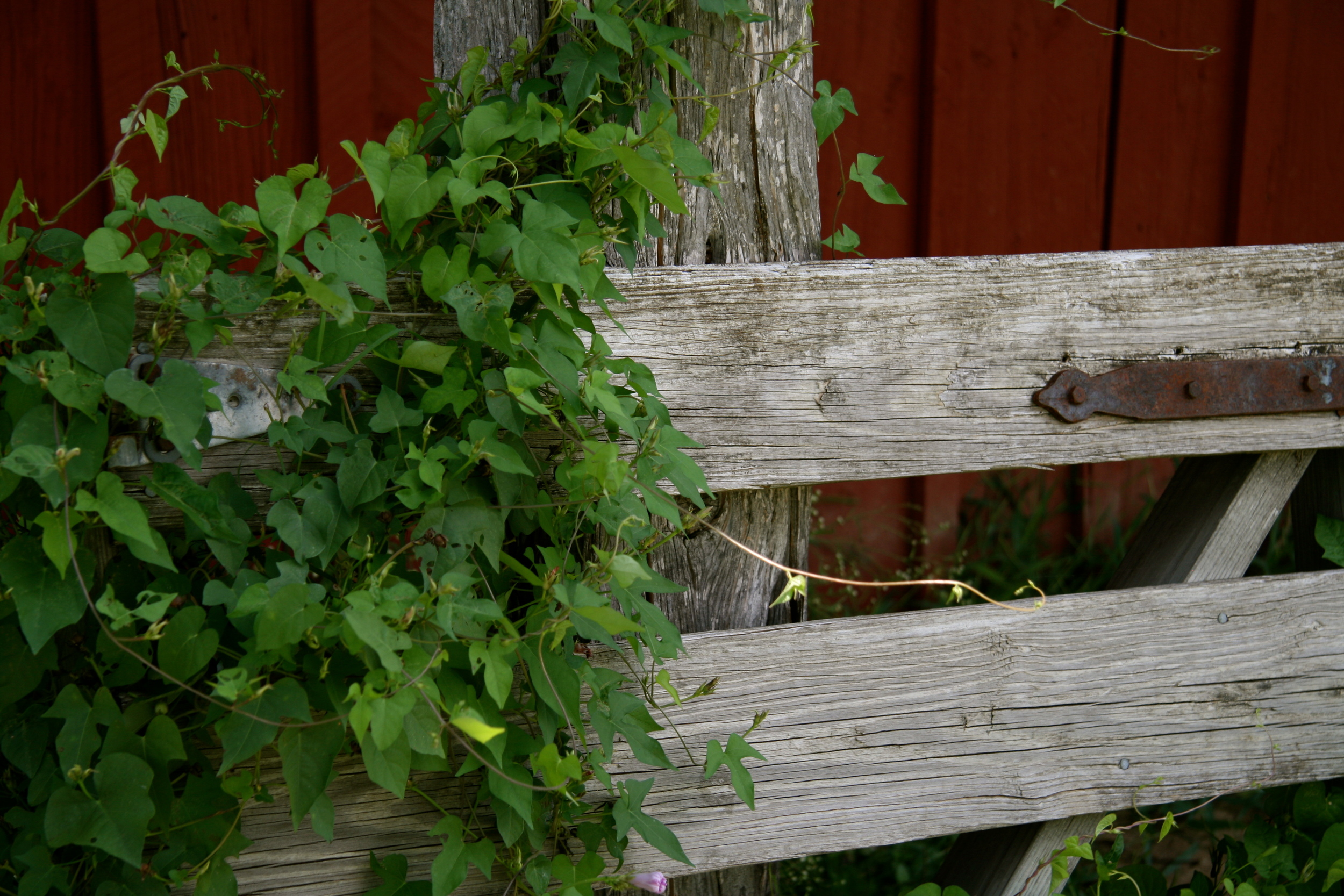 fence with ivy.JPG