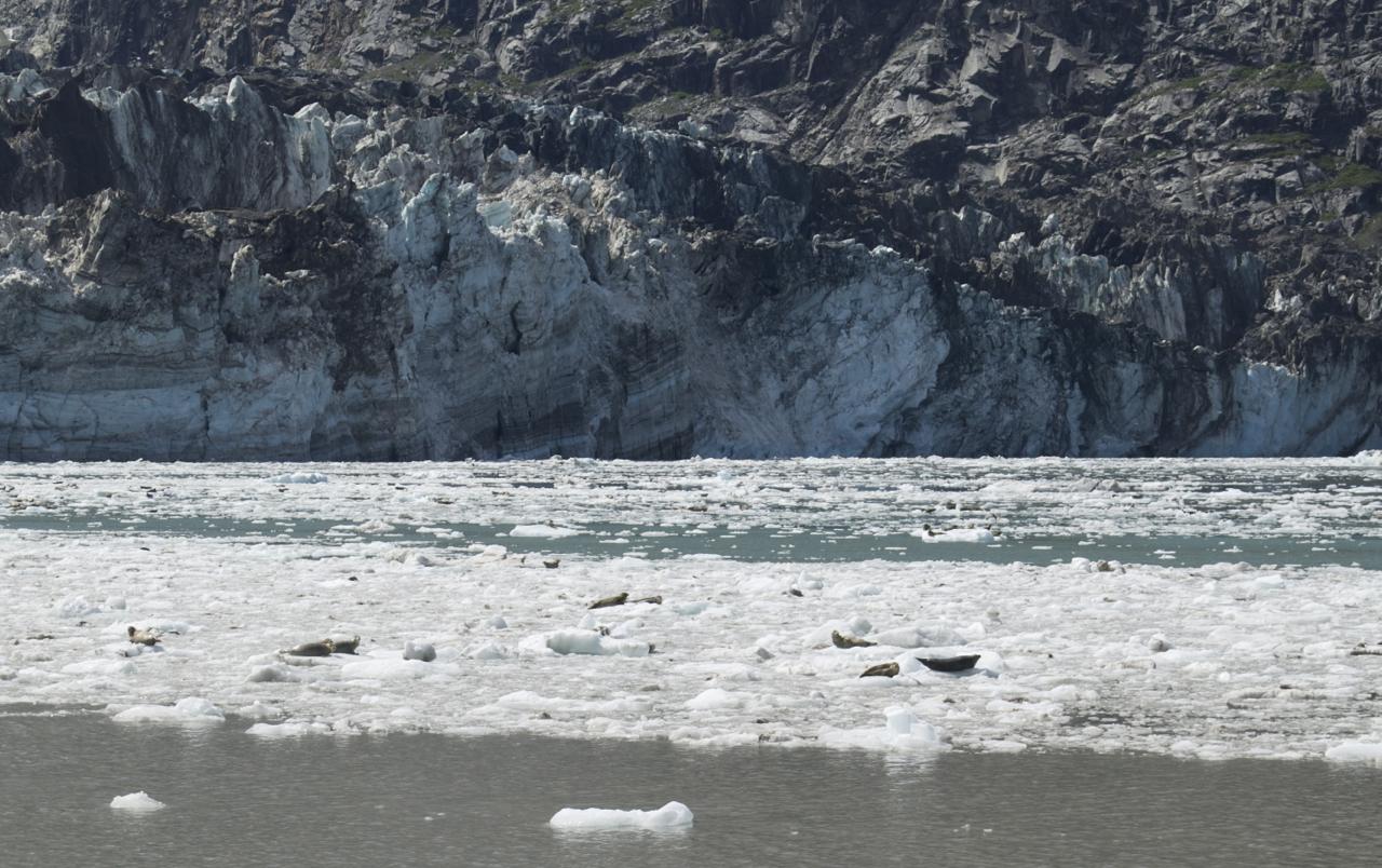 Seals on bergy bits G bay JH Glacier.jpg