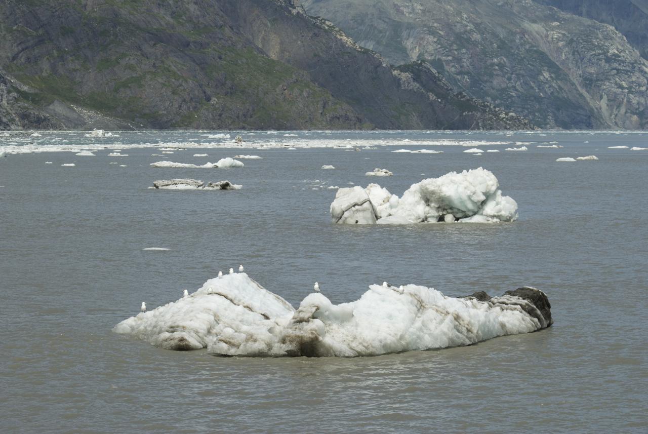 Birds on a berg G bay JH glacier July .jpg