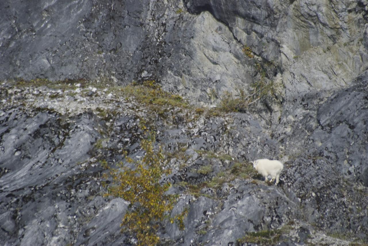 A mountain goat on Gloomy Knob