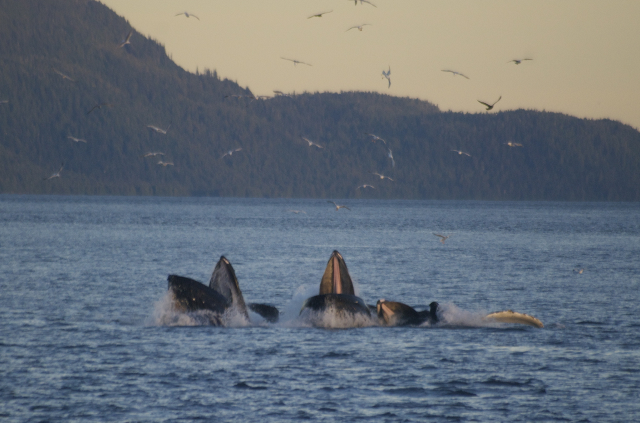 Bubble netting humpback whales, Wrangell Narrows, Alaska,  September 2014.   -