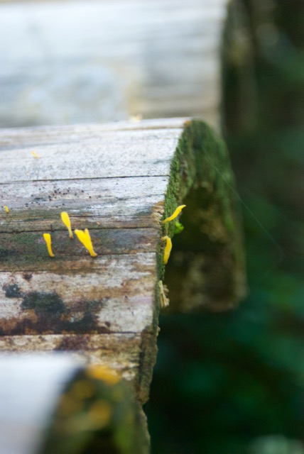 And also slime molds (or maybe sill mushrooms?).  This is one of the many little bamboo bridges that dot the garden.