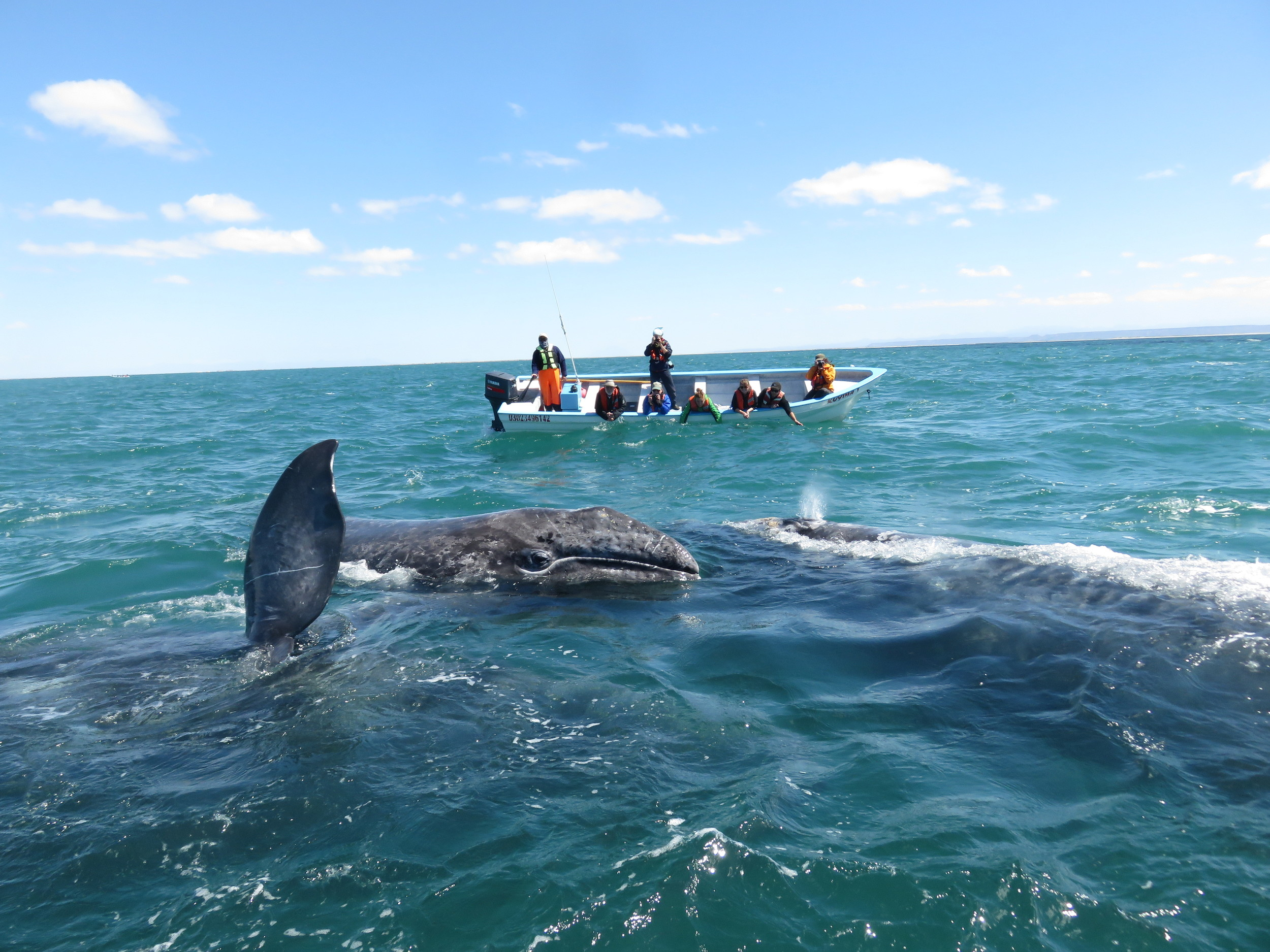 photo credit goes to a generous guest on the trip who put this photo on the shared drive.   I am the idiot standing up in the panga to get a better view.  In my defense, I am also trying to balance the boat out a little, despite Maggie's best effort to join the whales.