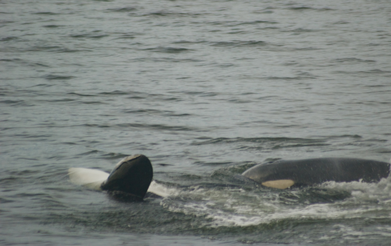 And this whale (perhaps the same whale?) is swimming on her back.