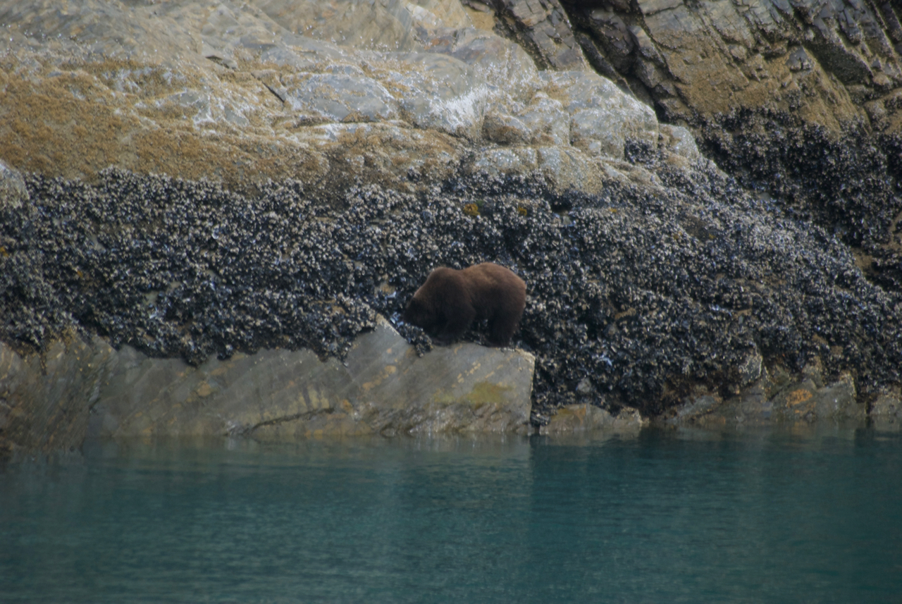 And a coastal brown bear looking for something tasty to eat in Glacier Bay