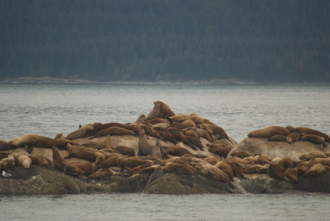Steller Sea Lions, Marble Island, Glacier Bay
