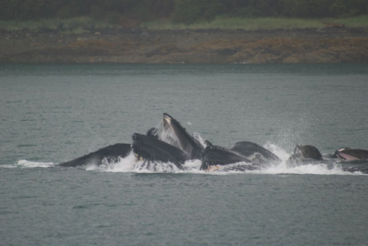 Bubble netting humpback whales enjoying breakfast