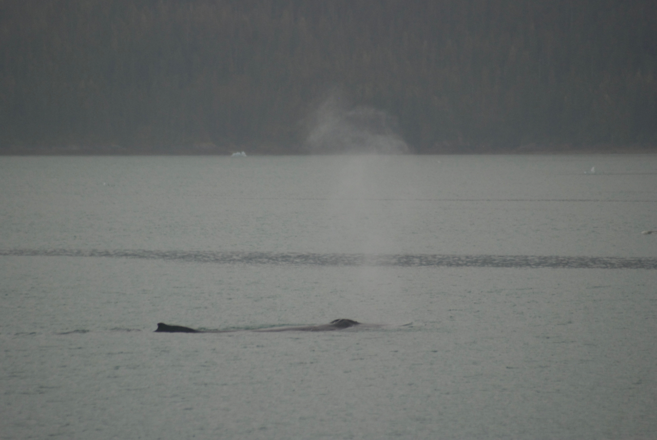Humpback whale having a leisurely evening snack.  Endicott Arm (I think)