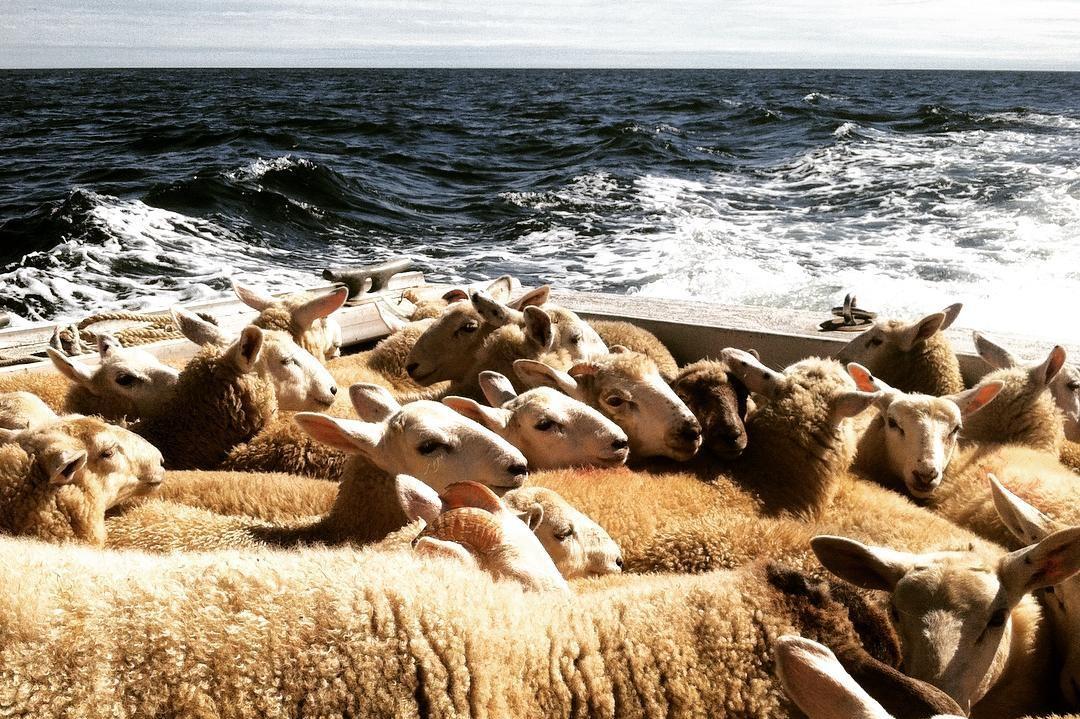 Straw's Farm Island sheep
