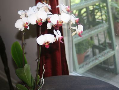 MOTH ORCHIDS BLOOM FOR MONTHS AND REBLOOM