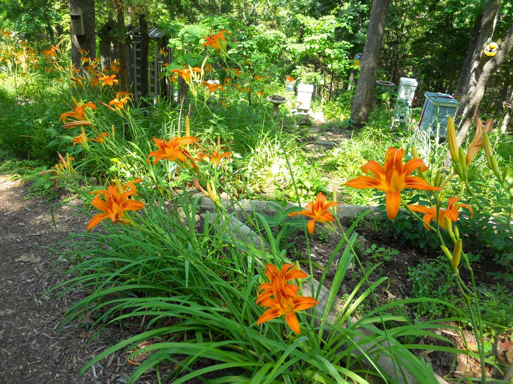 DAYLILIES AT MY ONE-ACRE MISSOURI GARDEN SITE