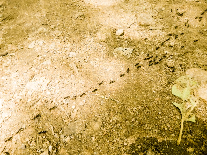 As the busy ants march, they create a black  path, and your mind travels along it,   wondering about their destination.