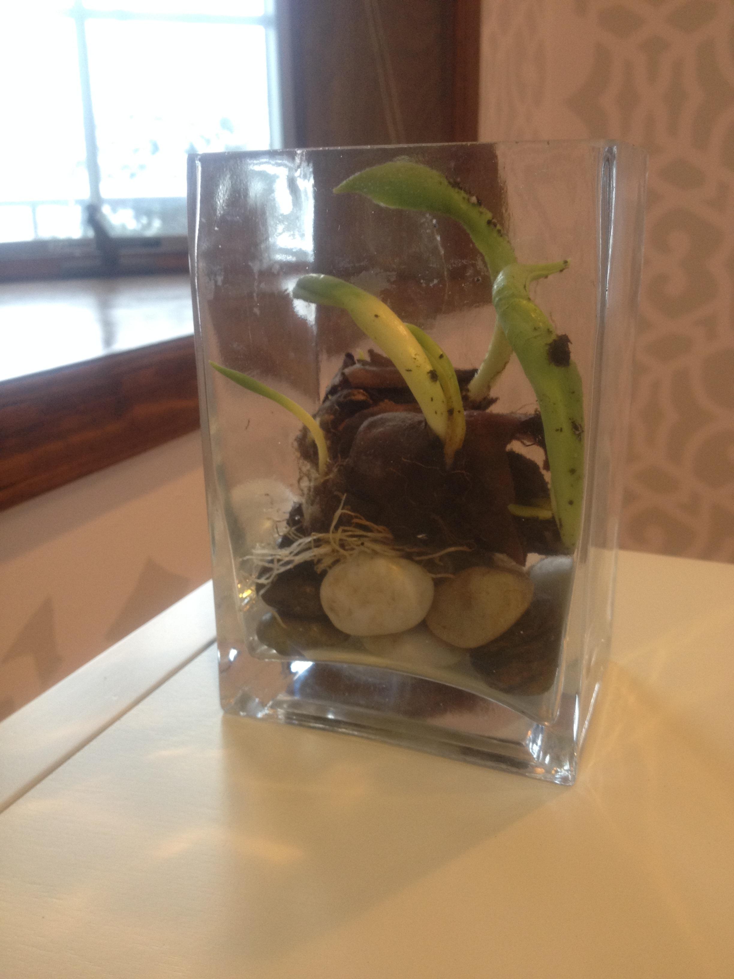 Tulip bulbs in vase