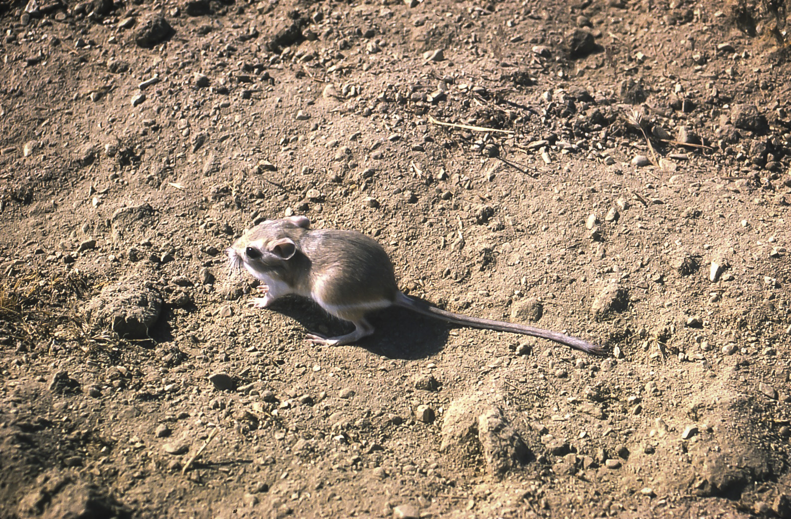 A kangaroo rat scurries across the dirt.