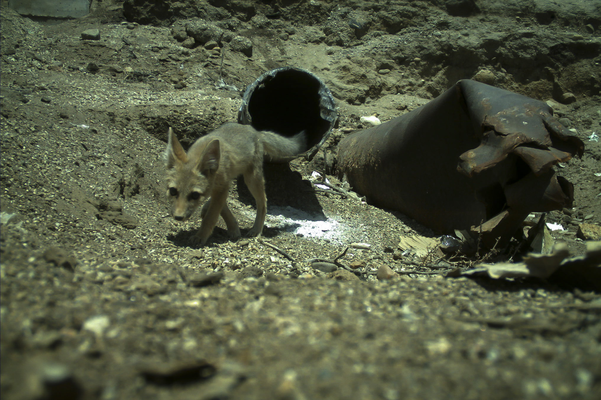 MBI has experience handling sensitive cases including den excavation involving kit fox.