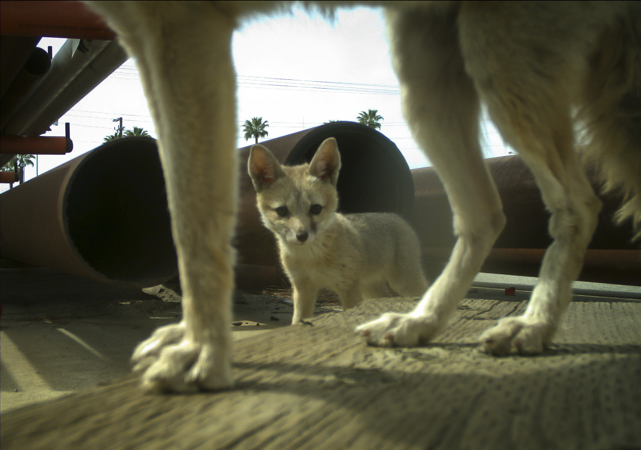 A kit fox puppy looking at the camera while one of his parents stands in front of the camera.