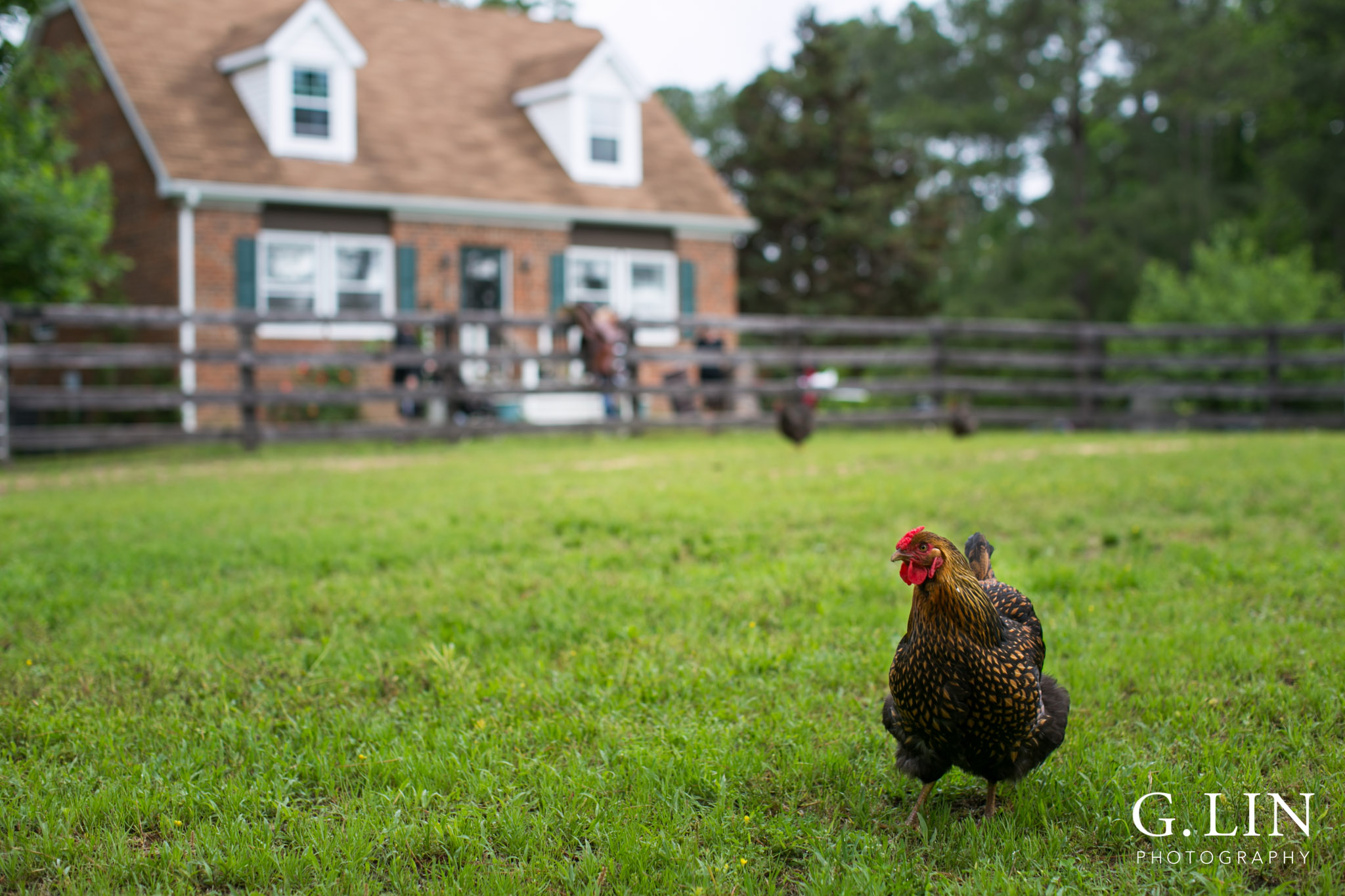 G. Lin Photography | Raleigh Event Photographer | Chicken on the field walking around