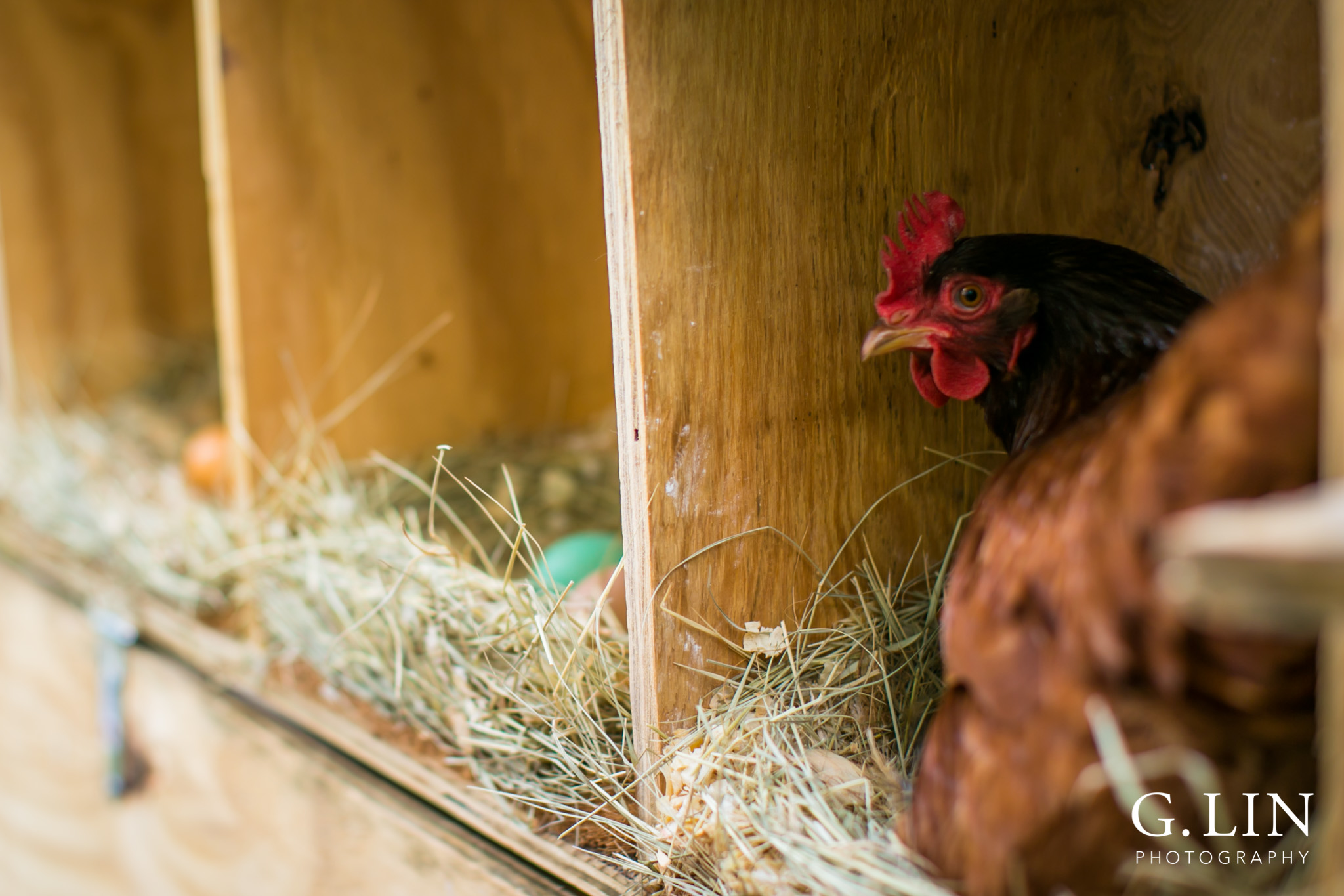 G. Lin Photography | Raleigh Event Photographer | Chicken inside coop laying eggs