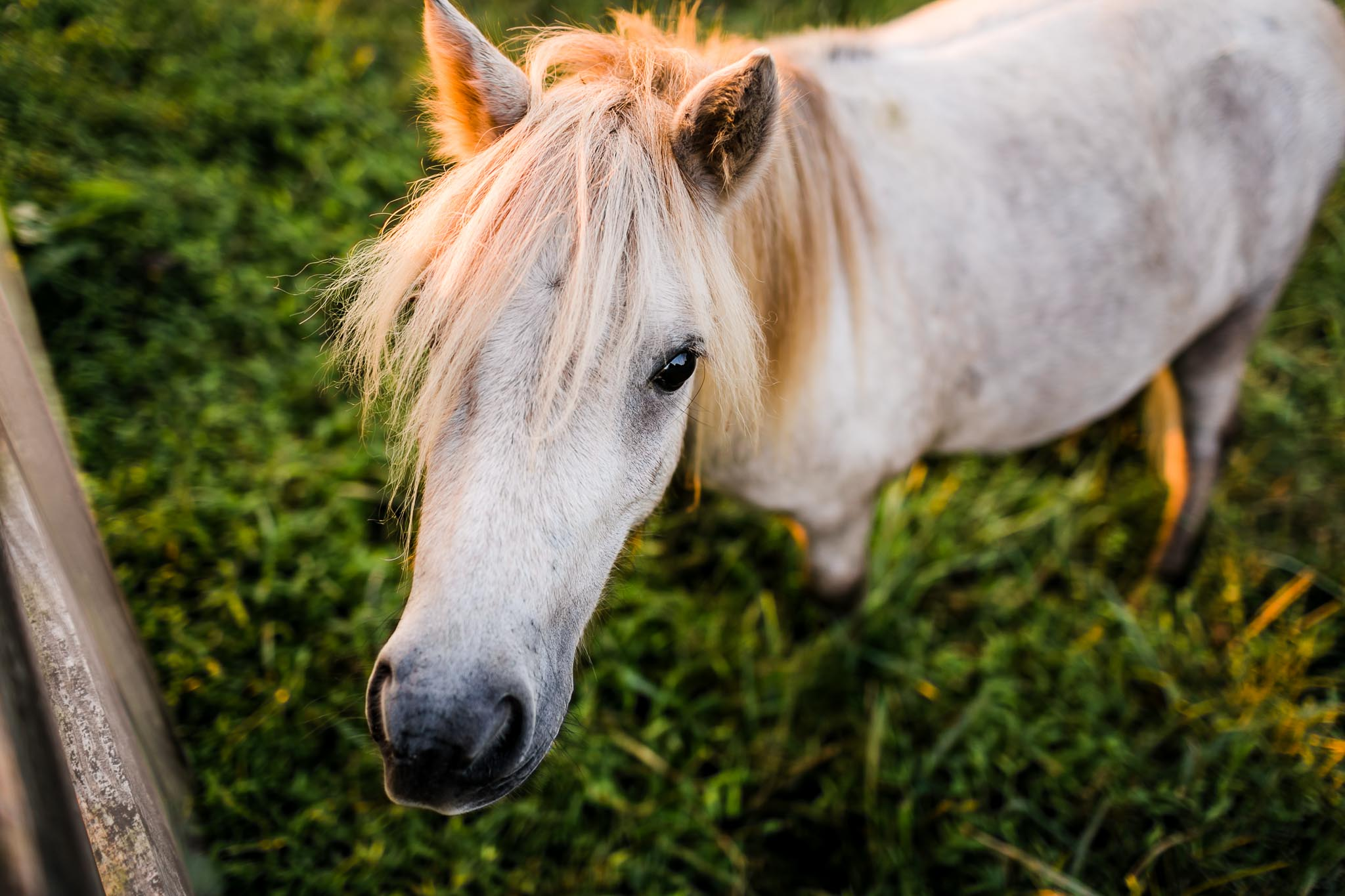 Portrait of miniature horse | By G. Lin Photography | Rougemont Family Photographer