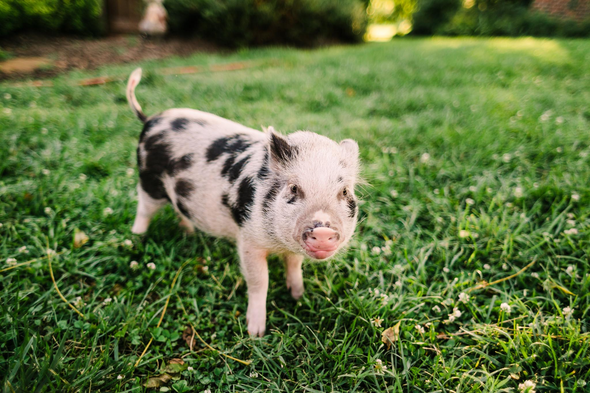 Durham Family Photographer | By G. Lin Photography | Portrait of miniature pig looking at camera