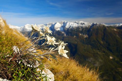 Mountain Flower- Edelweiss