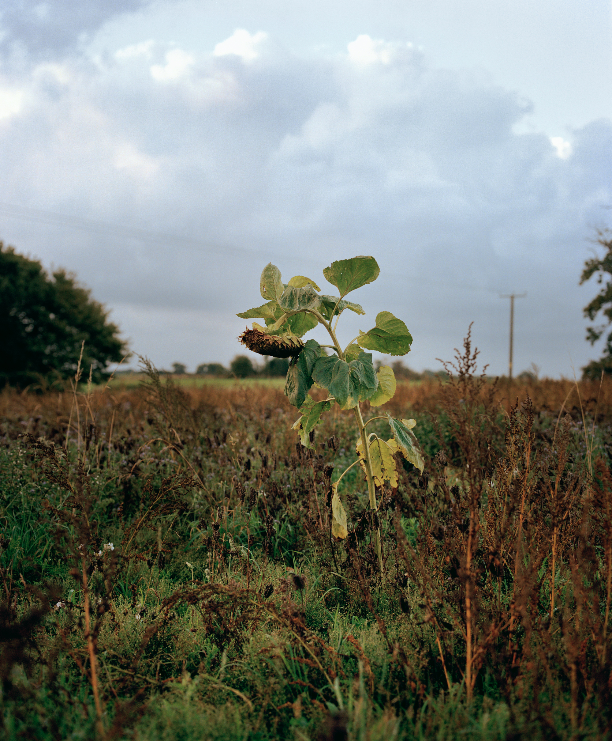 Sunflower, Woolverstone, 2013.jpg