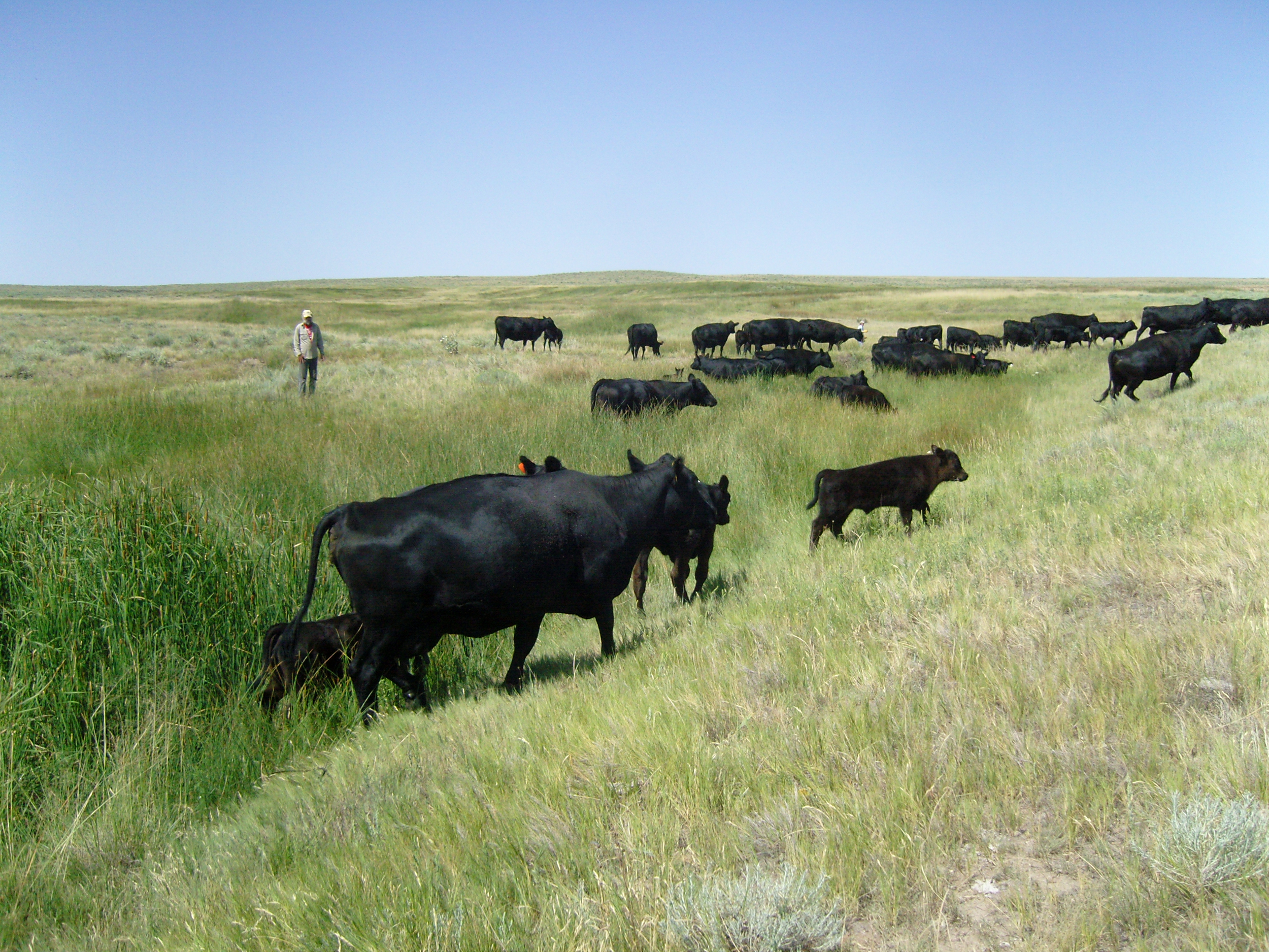Walking in the herd: a careful and humane way to gather cattle together.