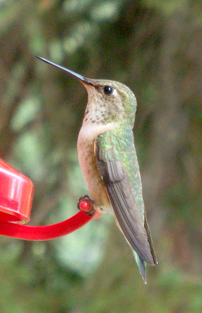 Hummingbirds of the Robson Valley