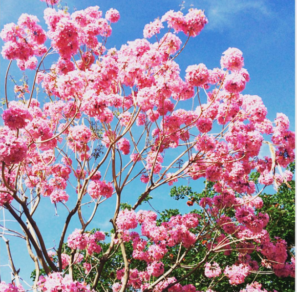 These lovely trees are blooming everywhere in LA. So So happy! This one found in Glendale, CA