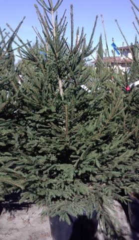 ADOPT A CHRISTMAS TREE. COM