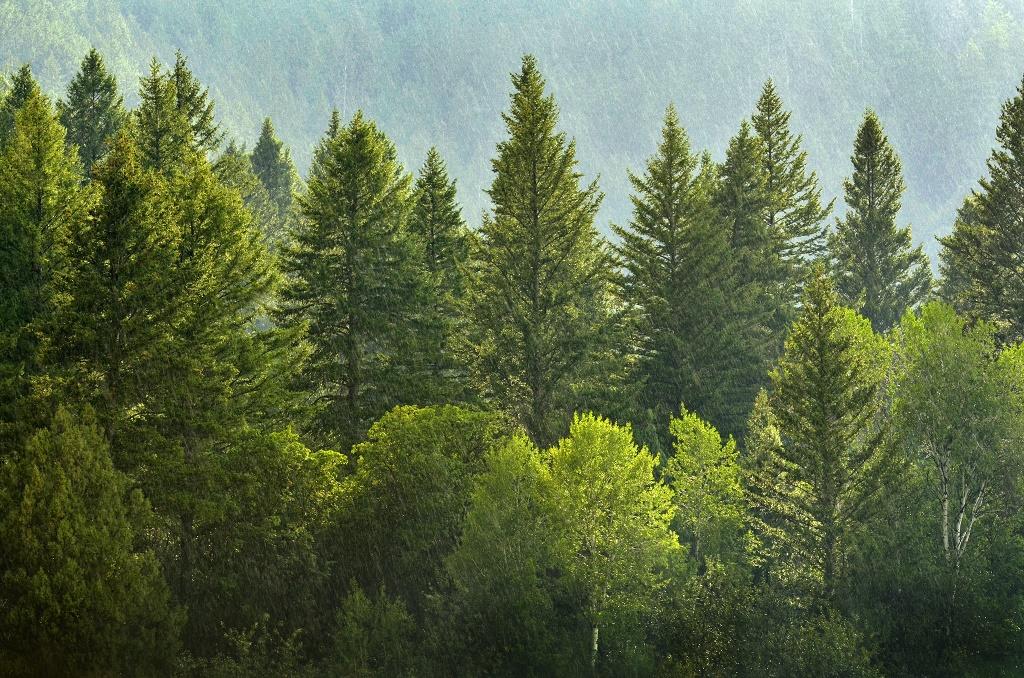 pine-forest.jpg