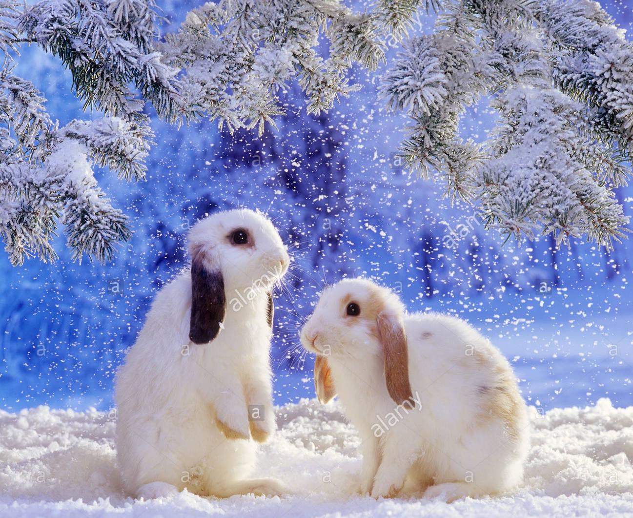 two-lop-eared-dwarf-rabbits-in-snow-AC826Y.jpg